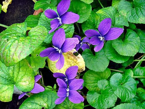 Aimado Seeds Garden Graines de Abricotier Bergeron Fruitiers Jaune parfum/ée autofertile Grain/é fleur jardin plante vivace r/ésistante au froid