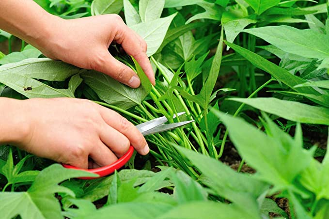Water Spinach, Kangkong, River Spinach, Chinese Spinach or Watercress - 15g Seeds: Amazon.ca: Patio, Lawn & Garden