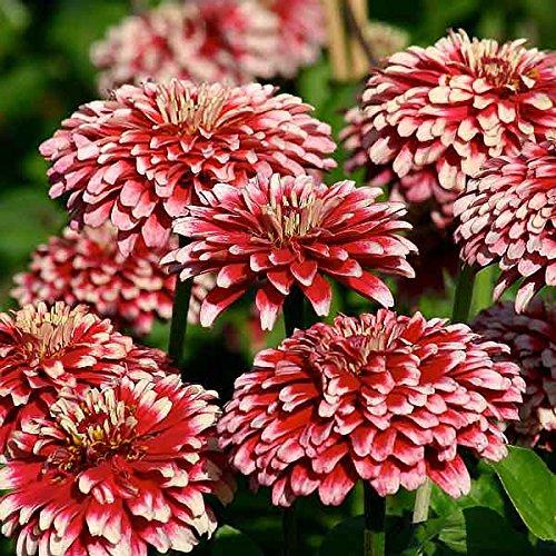 - Candy Cane Zinnia Seeds - My Secret Gardens