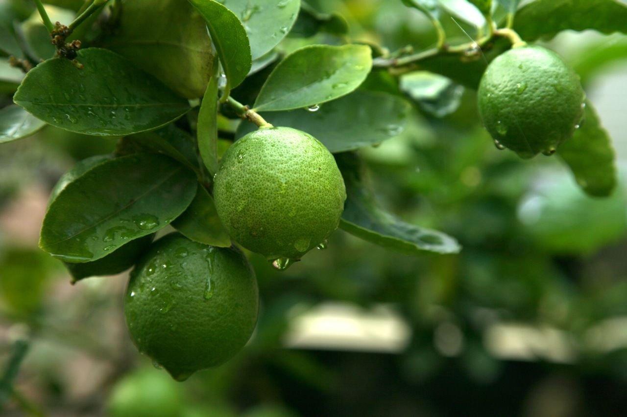 Dwarf Bearss Seedless Lime