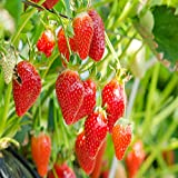 Eversweet Everbearing 100 Live Strawberry Plants, NON GMO