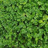 Miniature Fairy Garden Soleirolia soleirolii, Baby Tears, Green