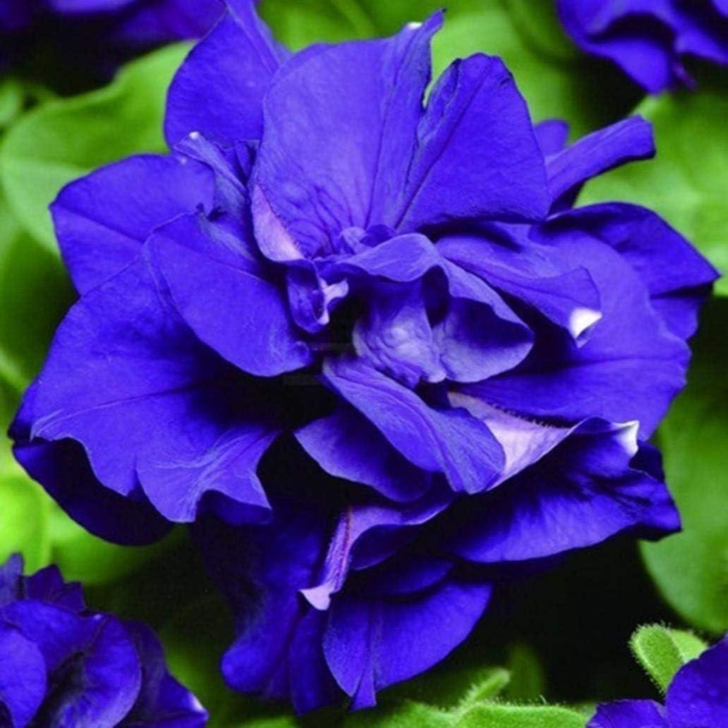 Uticon 20Pcs Various Color Petunia Seeds Flower Plant Home Garden Balcony Bonsai Decor - Dark Purple Petunia Hybrida Seeds