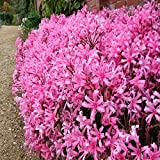 Narine Lilly (Naraine) Flower Bulbs (Pink Colour) - Pack of 5 Bulbs By Gate Garden