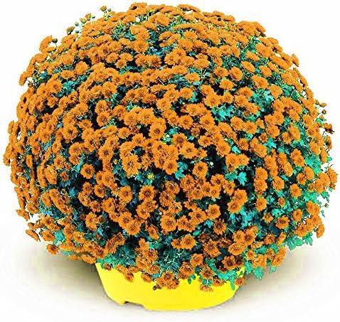 Lonlier Semillas de Crisantemo 100 pcs Bonsai Semillas Flores para Jardín Huerto
