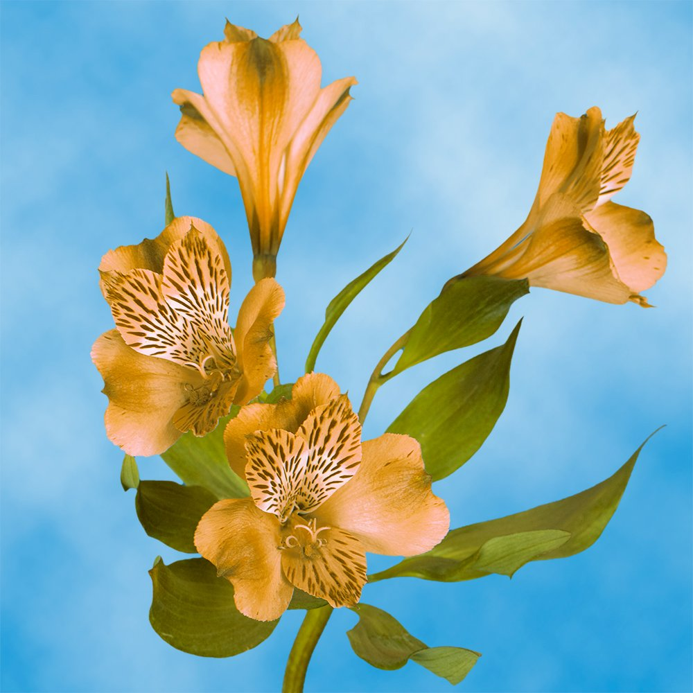 GlobalRose 240 Blooms of Orange Select Alstroemerias 60 Stems - Peruvian Lily Fresh Flowers for Delivery