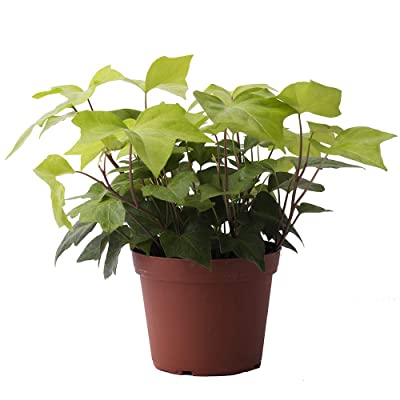 "AMERICAN PLANT EXCHANGE Neon Algerian Ivy Lemon Lime Live Plant, 6"" Pot, Bright Indoor Air Purifier : Garden & Outdoor"