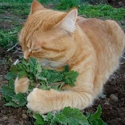 khkadiwb Garden Decor 50Pcs Cat Mint Catnip Bulk Seeds Rare Organic Aromatic Medicinal Herb, Sprouting Guaranteed Home Balcony Courtyard Plants Gifts 50pcs : Garden & Outdoor