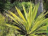 "1 STARTER PLANT of Furcraea Foetida Mediopicta ""Mauritius Hemp"" live plant"