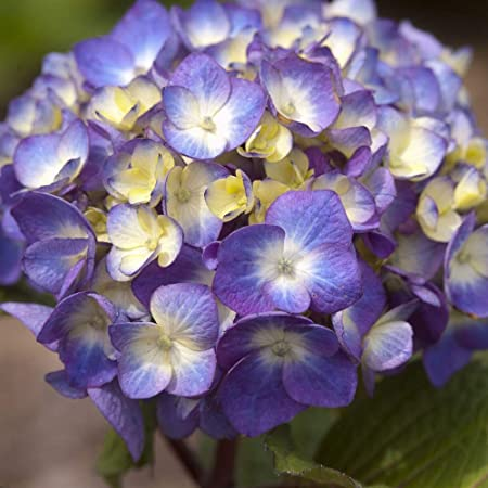 Amazon Com 2 Gallon Endless Summer Bloomstruck Hydrangea