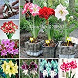 New Arrival! Ture amaryllis bulbs,hippeastrum flowers,hippeastrum bulbs,bonsai rare flower bulbs,home garden plant -2pcs/bag