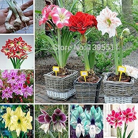 Amazon.Com : New Arrival! Ture Amaryllis Bulbs, Hippeastrum