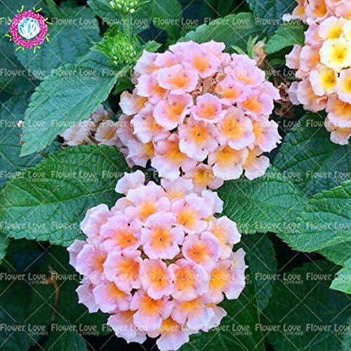 50 PCS Bonsai Lantana camara Semillas de cinco colores Hydrangea Semillas Semillas raras magníficos de la flor de la planta jardín perenne: Amazon.es: Jardín
