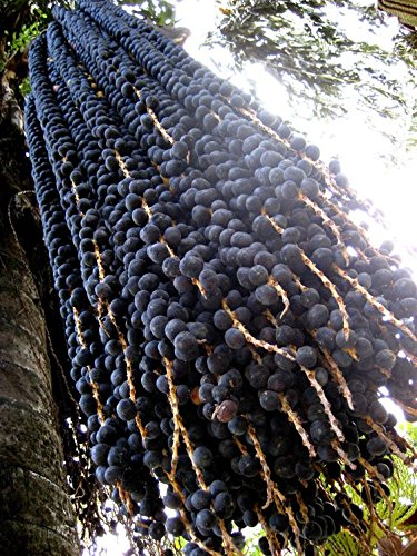 CATTERPILLAR FARM® 1 Healthy Live Plant Acai Berry (Euterpe