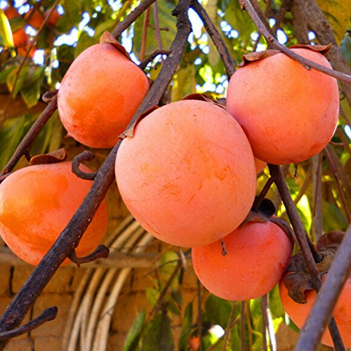 LOSS PROMOTION SALE! 20pcs persimmon Seeds, Delicious Fruit DIY home garden fruit tree seeds Persimmon Trees Seeds