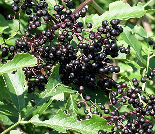 (York Elderberry Shrub - Sambucus - 3.25