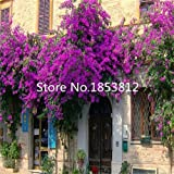 Sale!200pcs / bag ,Bougainvillea Seeds, potted seed, flower seed, variety complete, the budding rate 95%, (Mixed colors)
