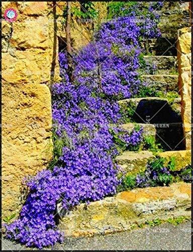 Shoopy Star Blue Fescue Grass Seeds - (festuca glauca) Perennial Hardy Bonsai Beautiful gra