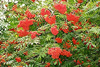 50 Seeds - Rowan, (European Mountain Ash), Sorbus aucuparia, Tree Seeds (Fast, Fall Color)