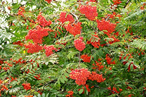 - Rowan, (European Mountain Ash), Sorbus Aucuparia, Tree 50 Seeds