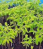 Moringa Oleifera Starter Tree Value Sets - Free Priority Shipping! (10)