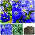 100 pcs Blue Daisy ,English species ,easiest growing flower, exotic ornamental flowers pot planters sementes for home plant