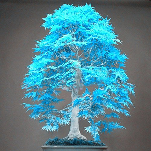 20 bonsai blue maple tree seeds rare sky blue japanese maple seeds Balcony plants for home - Bonsai Blue