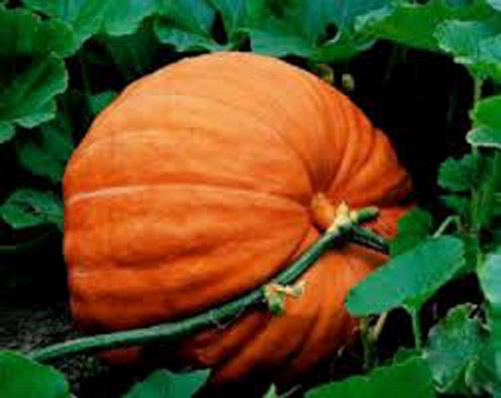 Pumpkin, Big Max Pumpkin Seeds, Heirloom, Non GMO, 100 Seeds, Giant Pumpkins