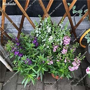 Happy Farm Gypsophila Estrellas del cielo Semilla híbridos semilla de flor del jardín de Paisajismo decorativo, planta de flor perenne 150 Pcs 8