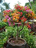 Hot Sale!!! 100pcs Mix color Bougainvillea Spectabilis Willd Seeds bonsai flower plant seeds flowers pot planters