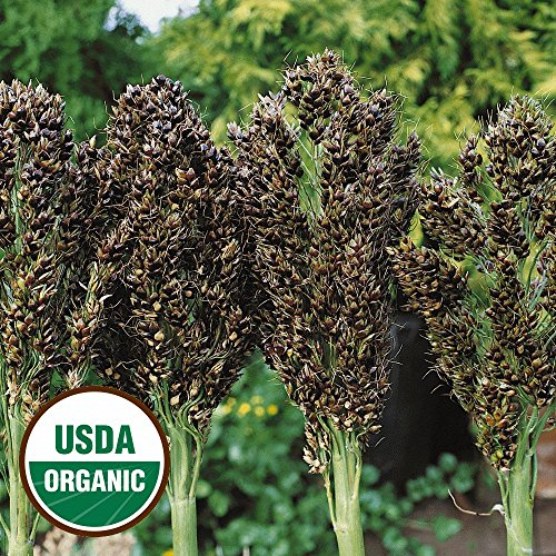 Everwilde Farms - 50 organic Broom Corn Ornamental Corn Seeds - Gold Vault Packet