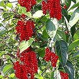 #1322* MAGNOLIA VINE* Schisandra Chinensis*five-flavor berry* 7 SEEDS*