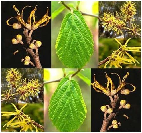 Amazon.com : Witch Hazel Seed - Hamamelis virginiana Seeds ...