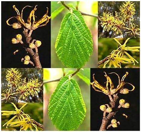Amazon Com Witch Hazel Seed Hamamelis Virginiana Seeds