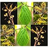 4 Packs x 10 Witch Hazel Seed - Hamamelis virginiana Seeds - WITCHHAZEL - Fragrant Yellow Blooms - Hardy to Zone 4 - By MySeeds.Co