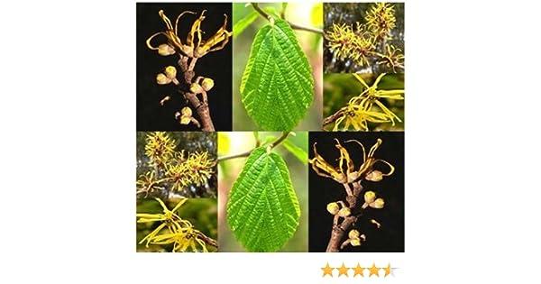 Amazon.com : Witch Hazel Seed - Hamamelis virginiana Seeds - WITCHHAZEL - Fragrant Yellow Blooms - Hardy to Zone 4 - By MySeeds.