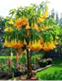 5 Angel's Trumpet Tree Seeds/ Free Shipping