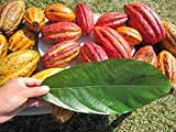 Lot of 2 Plants - 2 Pots 3.5 to 4 FEET Tall Cacao Plant Cocoa Fruit Tree