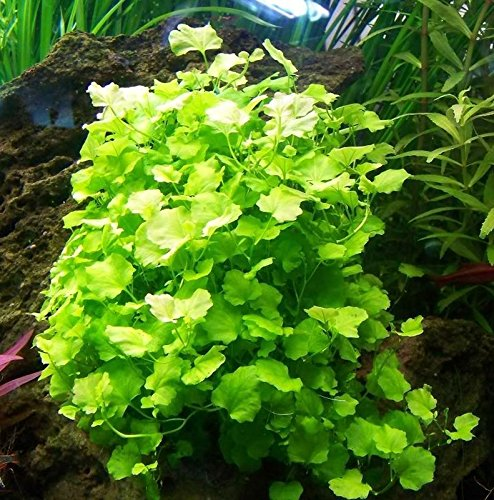 Bunched Cardamine Lyrata Live Aquarium Stem Plants java anacharis ludwigia -