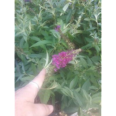 "AchmadAnam - Live Plant - Butterfly Plant - Buzz Magenta1 4"" Pot Size. E10 : Garden & Outdoor"