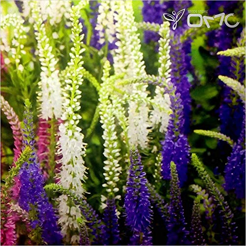 (vegherb (250 Seeds) Veronica Spicata Mix/Spike Speedwell )