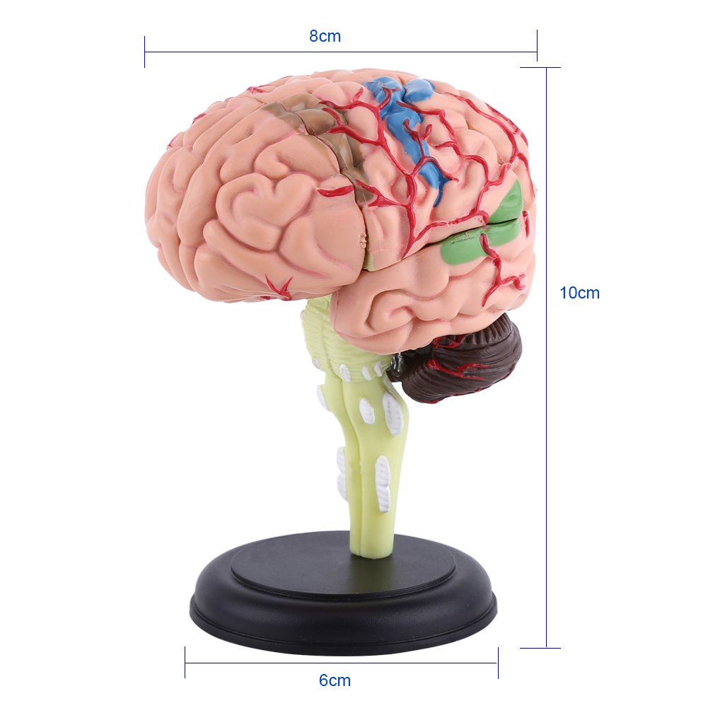 Disassembled Human Brain Model Structural Anatomy Medical Teaching
