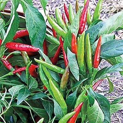 Chilli Surya Seeds (avg 30-50) Seeds 5 : Garden & Outdoor