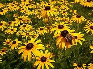 Black-eyed Susan Rudbeckia hirta Wildflower-3000 SEEDS - Perennial !