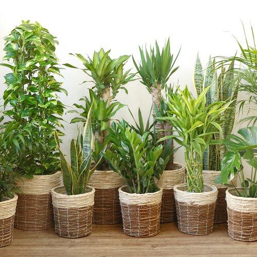 観葉植物 8号+6号セット ポトス8号ザミオクルカス6号 B0140UWJU4 ザミオクルカス