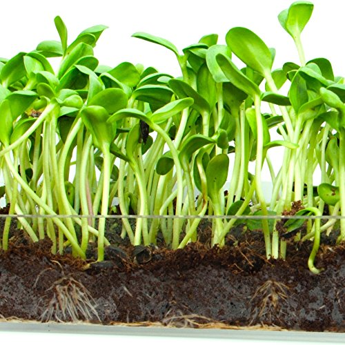 "Kit Sunflower (Microgreen Organic Sunflower 3 Pack Refill – Pre-measured Soil + Seed, Use with Window Garden Multi-Use 15"" x 6"" Planter Tray. Easy and Convenient, Enough to Sprout 3 Crops of Superfood.)"