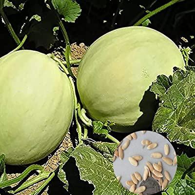 scgtpapadc H-oneydew Melon Seed, 500Pcs Sweet H-oneydew Melon Seeds Easy Grow Delicious Juicy Fruit Garden Plant, Flower Seeds Plant Seeds Honeydew Melon Seeds: Sports & Outdoors