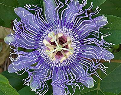 Hardy Passion Flower 5 Seeds - Maypop - Passiflora by Hirts: Seed; Vines & Groundcovers