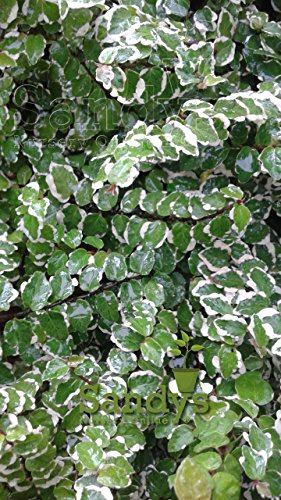 Sandys Nursery Online Creeping Fig Creme & Green Variegata Plant 4 inch pot