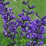 Everwilde Farms - 10 Dwarf Blue Indigo Native Wildflower Seeds - Gold Vault Jumbo Seed Packet